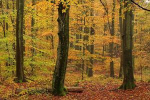 Autumnal forest, Kastel-Staadt, Rhineland-Palatinate (Rheinland-Pfalz), Germany, Europe by Hans-Peter Merten