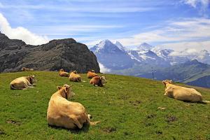 Cows at Faulhorn, Grindelwald, Bernese Oberland, Switzerland, Europe by Hans-Peter Merten
