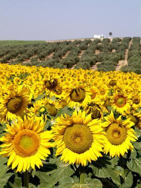 Sunflower Field Near Cordoba, Andalusia, Spain, Europe by Hans Peter Merten