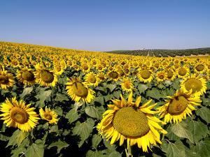 Sunflower Field Near Cordoba, Andalusia, Spain, Europe by Hans Peter Merten