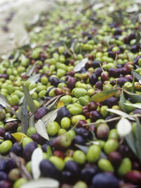 Olive Harvest (Tenuta San Vito, Tuscany, Italy) by Hans-peter Siffert