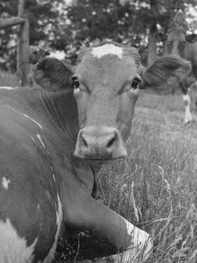 A Cow Lying in the Grass on a Dairy Farm by Hansel Mieth