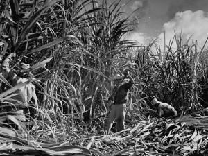 Farm Hands Working on a Sugar Cane Farm by Hansel Mieth