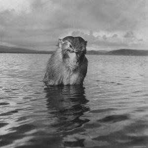 Rhesus Monkey Sitting in Water Up to His Chest by Hansel Mieth