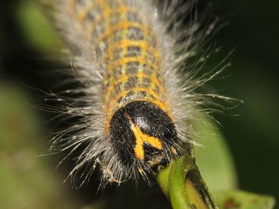 Caterpillar, Buff-Tip