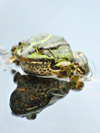 Small Pool Frog, Water, Mirroring, Frontal