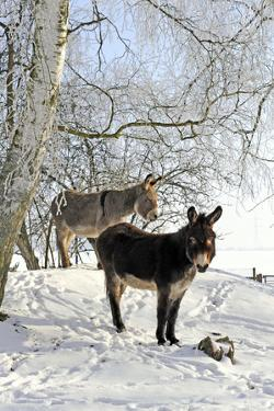 Two Donkeys Brown and Grey under Frost-Covered Birches on Wintry Belt by Harald Lange