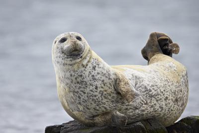 https://imgc.allpostersimages.com/img/posters/harbor-seal-common-seal-phoca-vitulina-iceland-polar-regions_u-L-PQ8MOB0.jpg?p=0