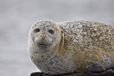 https://imgc.allpostersimages.com/img/posters/harbor-seal-common-seal-phoca-vitulina-iceland-polar-regions_u-L-PQ8MON0.jpg?p=0