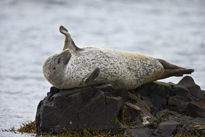 https://imgc.allpostersimages.com/img/posters/harbor-seal-common-seal-phoca-vitulina-stretching-iceland-polar-regions_u-L-PQ8MTZ0.jpg?p=0