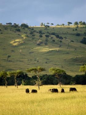 Masai Mara National Reserve, Kenya, East Africa, Africa by Harding Robert