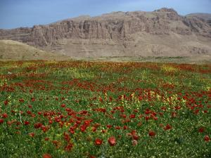 Wild Flowers Near Shiraz, Iran, Middle East by Harding Robert