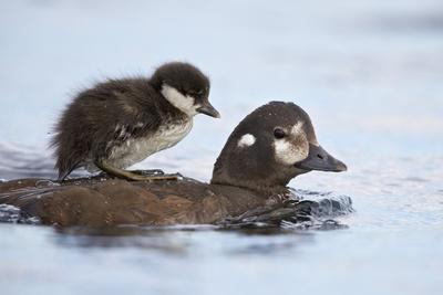 https://imgc.allpostersimages.com/img/posters/harlequin-duck-histrionicus-histrionicus-duckling-riding-on-its-mother-s-back_u-L-PQ8RHN0.jpg?p=0