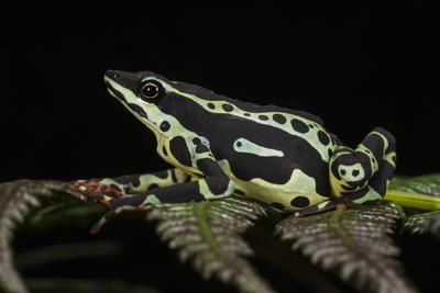https://imgc.allpostersimages.com/img/posters/harlequin-frog-ecuador_u-L-Q13AXZM0.jpg?p=0