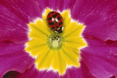 Harlequin Ladybird on Flower