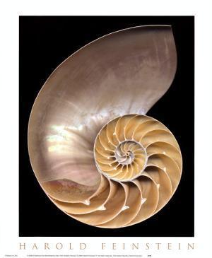 Chambered Nautilus by Harold Feinstein
