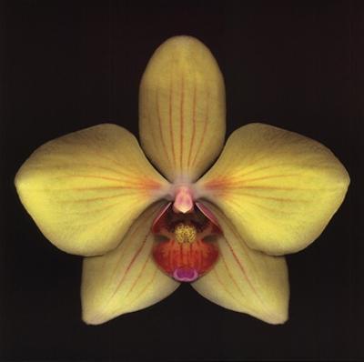 Phalaenopsis by Harold Feinstein