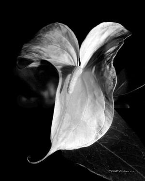 Anthurium by Harold Silverman