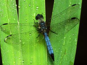Dragonfly on a Leaf by Harold Wilion