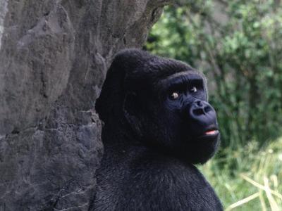 Gorilla, Franklin Park Zoo, Boston