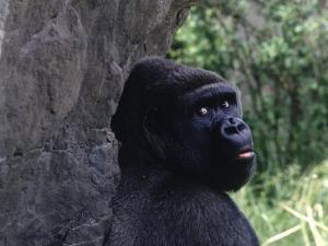Gorilla, Franklin Park Zoo, Boston by Harold Wilion