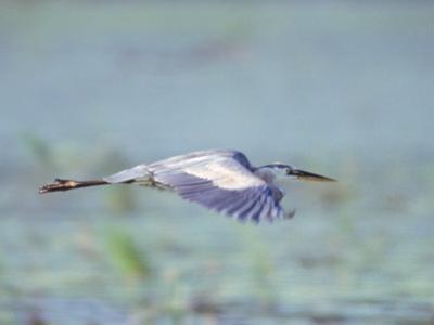 Great Blue Heron, Great Meadows Wf, MA