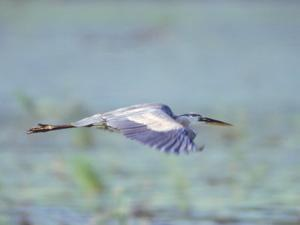 Great Blue Heron, Great Meadows Wf, MA by Harold Wilion