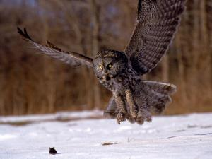 Great Gray Owl Flying, Rowley, MA by Harold Wilion