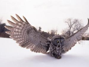 Great Gray Owl, Rowley, MA by Harold Wilion