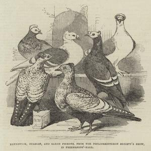 Brunswick, Suabian, and Saxon Pigeons, from the Philoperisteron Society's Show, in Freemasons'-Hall by Harrison William Weir