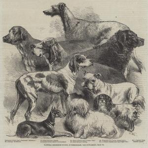 National Exhibition of Dogs at Birmingham by Harrison William Weir