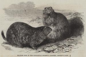 Prairie Dogs in the Zoological Society's Gardens, Regent's Park by Harrison William Weir