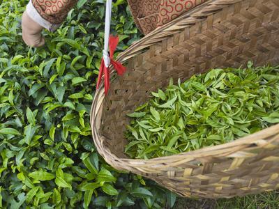 https://imgc.allpostersimages.com/img/posters/harvesting-tieguanyin-tea-leaves-at-a-tea-plantation-fujian-china_u-L-PHAEK10.jpg?p=0