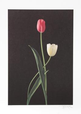 Tulips by Harvey Edwards