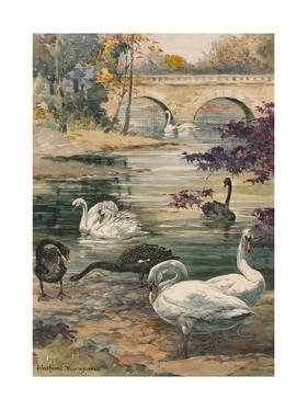 A Painting of Several Black and White Swans by Hashime Murayama