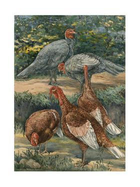 A Painting of Slate and Bourbon Red Turkeys by Hashime Murayama