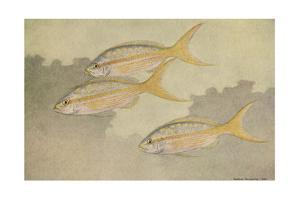 A Painting of Three Yellowtail Snapper Swimming Together by Hashime Murayama
