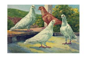 A Small Group of Table Pigeons Bred to Supply the Demand for Squabs by Hashime Murayama