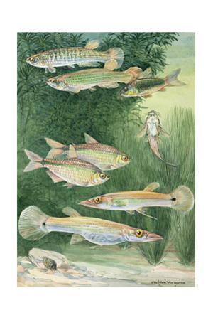 A Variety Fish from the Cypriniformes Family by Hashime Murayama