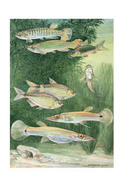 A Variety Fish from the Cypriniformes Family by Hashime Murayama