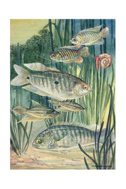 A Variety of Labyrinth Fish by Hashime Murayama