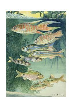 A Variety of Large Scaled Barbs and Danios by Hashime Murayama
