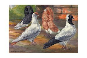 A Variety of Pigeons with Different Feathered Hoods by Hashime Murayama