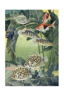 A Variety of Scats Swim Among Each Other by Hashime Murayama