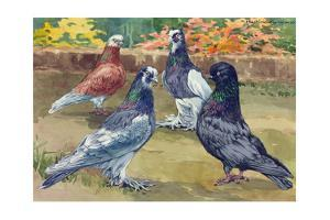 """A View of Both """"Clean-Legged"""" and """"Muffed"""" Tumbler Pigeons by Hashime Murayama"""