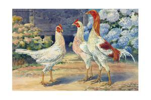 A View of Red Pyle Old English Chickens by Hashime Murayama