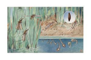 An Illustration of the Life Cycle of Salt-Marsh Mosquitoes by Hashime Murayama