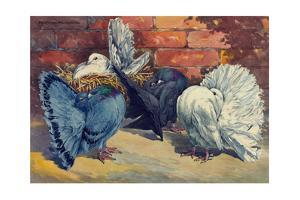 Fancy Pigeons known for their Fan-Shaped Tail by Hashime Murayama