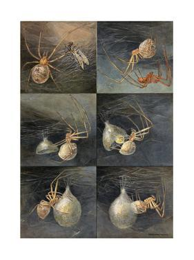 Painting of Several Spiders, Theridion Tepidariorum, at Work by Hashime Murayama