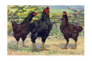 The Cornish Chickens are Most Used in the Meat Industry by Hashime Murayama
